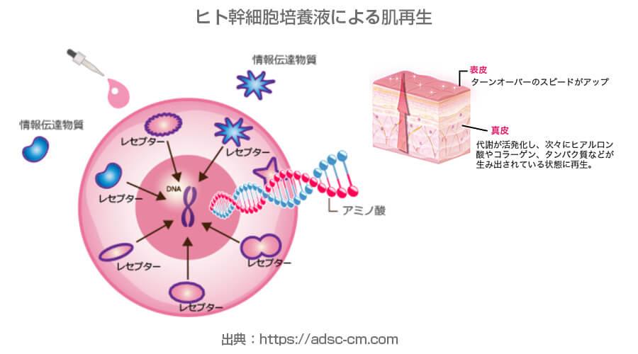 ヒト幹細胞培養液による肌再生